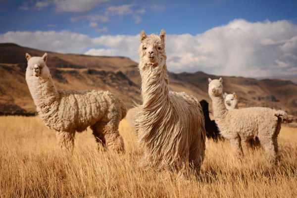 Was ist Alpaka-Wolle