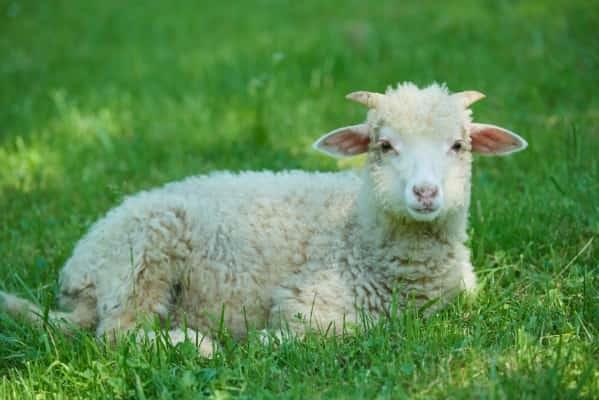 Schafschurwolle für Bettdecken, Kissen und Matratzenauflagen